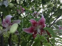 宗像市の花 カノコユリ