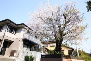 ガーデンルームと桜